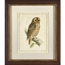 Tengmalms Owl II 25W x 29H